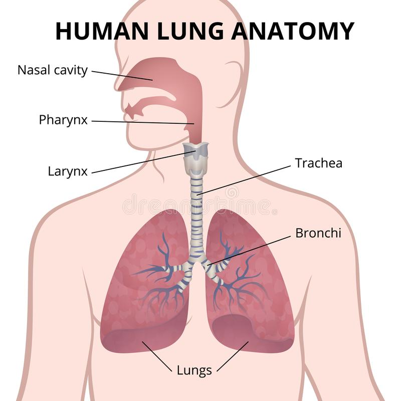 Beste Lunge Bronchien Anatomie Ideen - Menschliche Anatomie Bilder ...