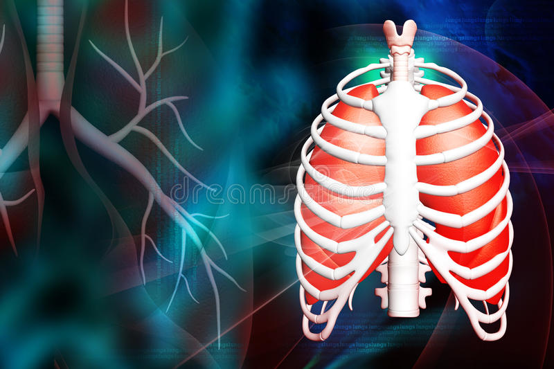 Menschliche Lungen und Rippe lizenzfreie abbildung