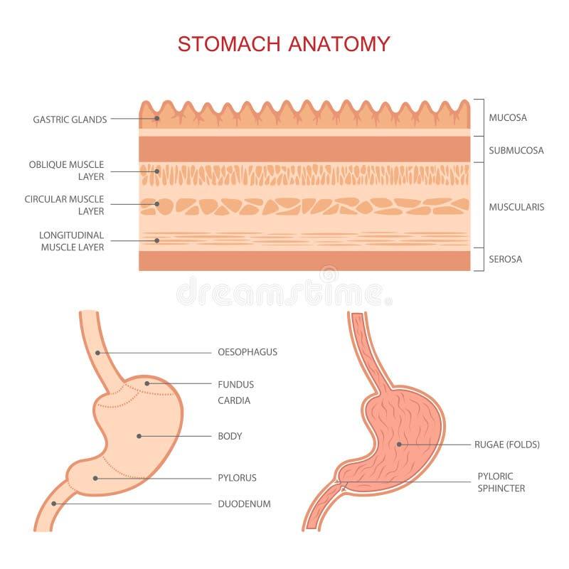 Menschliche Magen-Anatomie vektor abbildung. Illustration von gesund ...