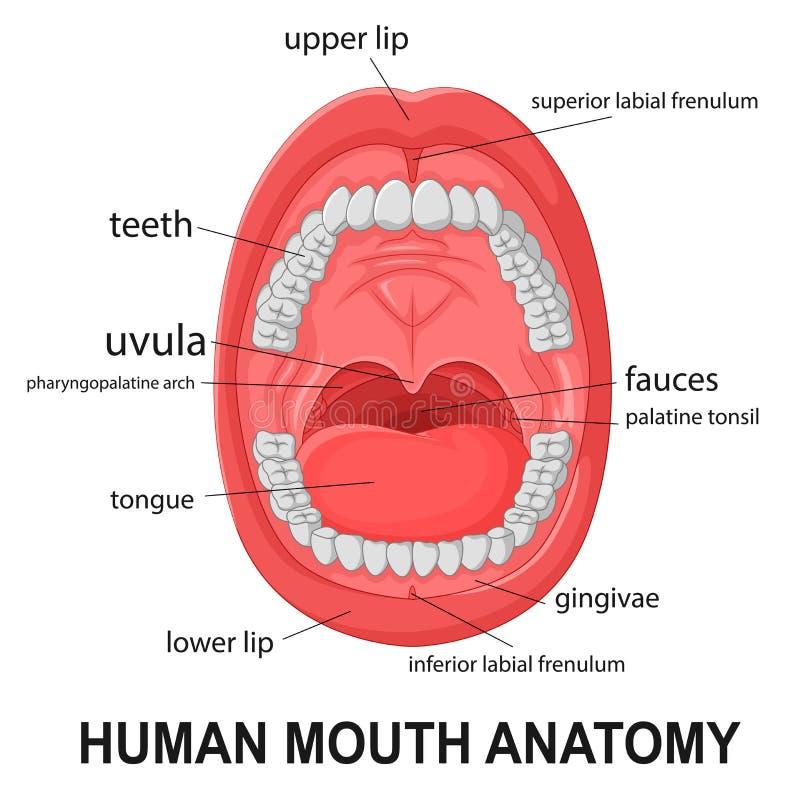 Menschliche Mundanatomie, offener Mund mit dem Erklären vektor abbildung