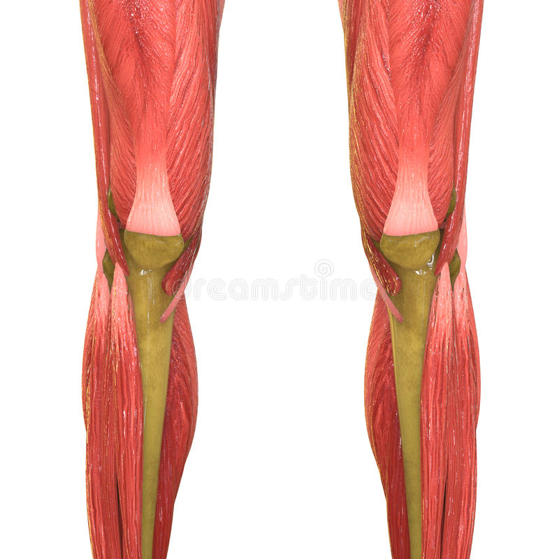 Menschliche Muskel-Körper-Anatomie (Beine) Stock Abbildung ...