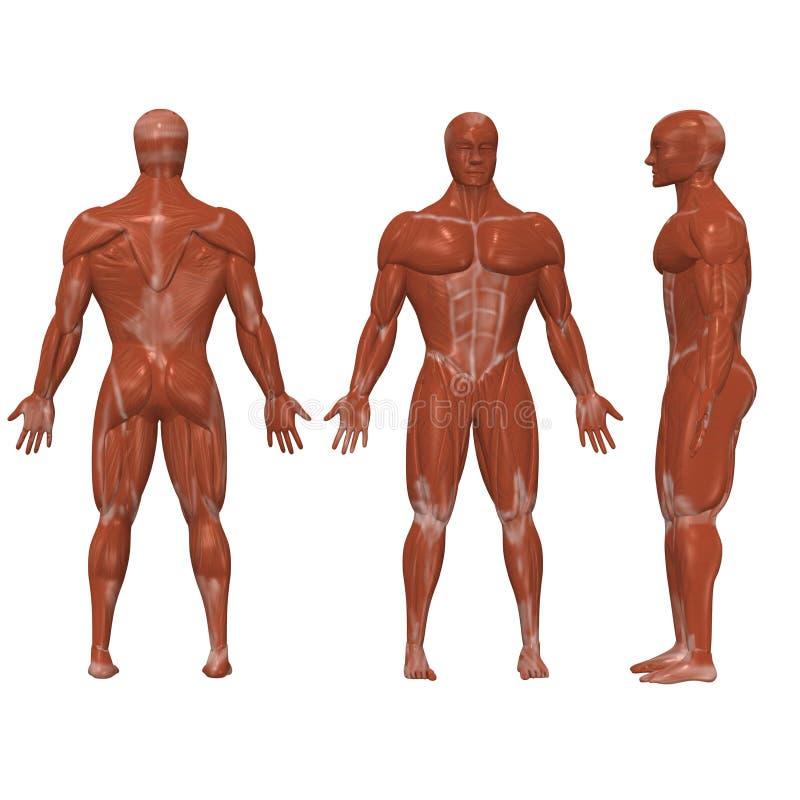 Menschliche Muskeln stock abbildung. Illustration von karosserie ...