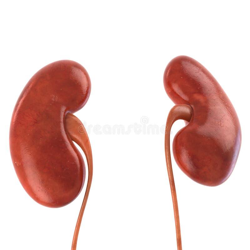 Menschliche Niere Lokalisiert Auf Weiß Stockbild - Bild von schüssel ...