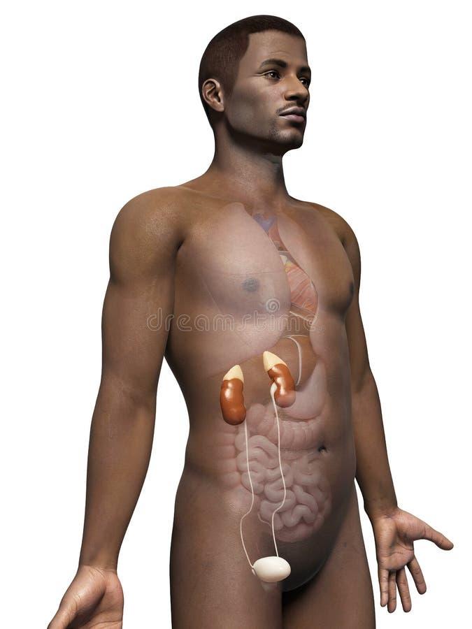 Menschliche Nieren vektor abbildung