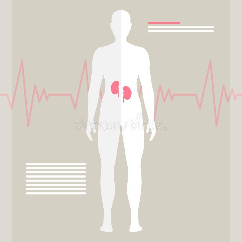 Menschliche Nieren stock abbildung