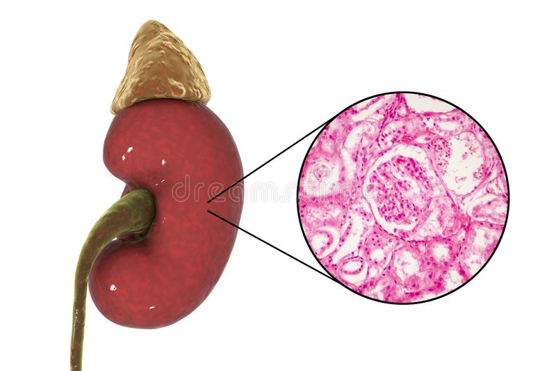 Menschliche Nierenanatomie und -gewebelehre stock abbildung