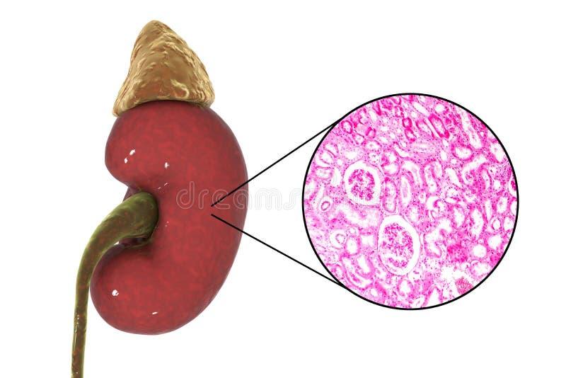 Menschliche Nierenanatomie und -gewebelehre vektor abbildung