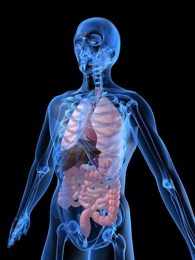 Menschliche Organe stock abbildung. Illustration von medizinisch ...
