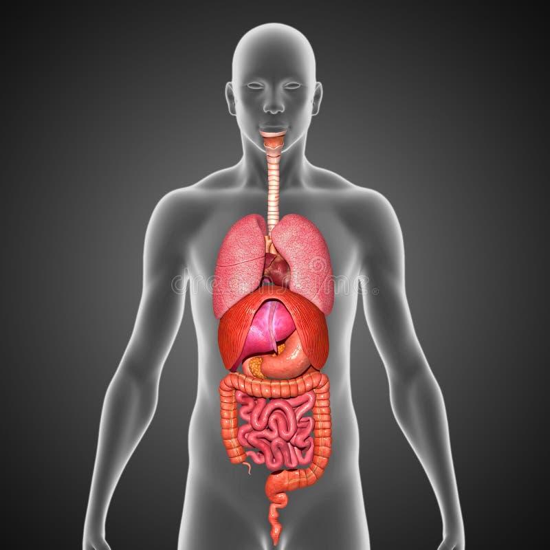 Menschliche 3d Anatomie Download Bereit