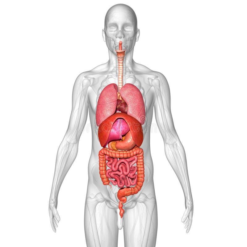 Menschliche Organe stockfoto. Bild von drüsen, membrane - 48759756