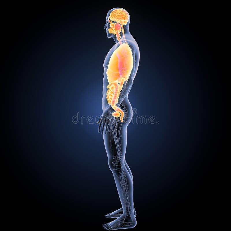 Menschliche Organe mit Kreislaufsystemseitenansicht stockbilder