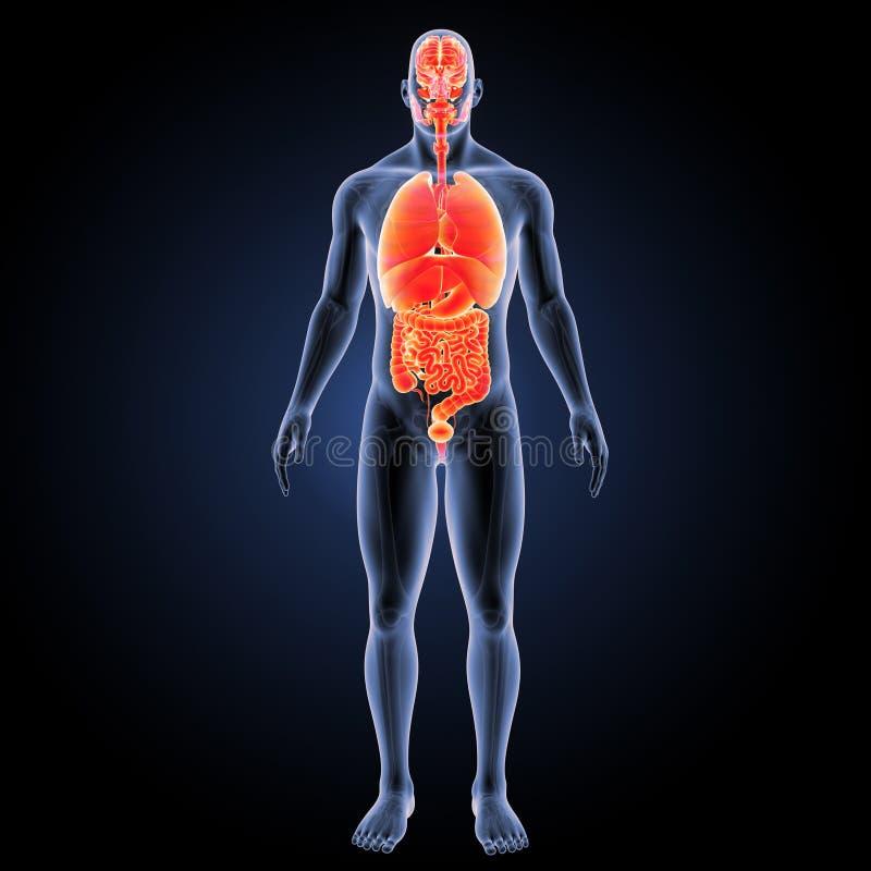 Menschliche Organe mit skeleton Vorderansicht stock abbildung