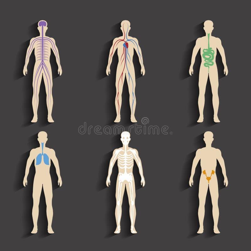 Menschliche Organe Und Körpersysteme Vektor Abbildung - Illustration ...