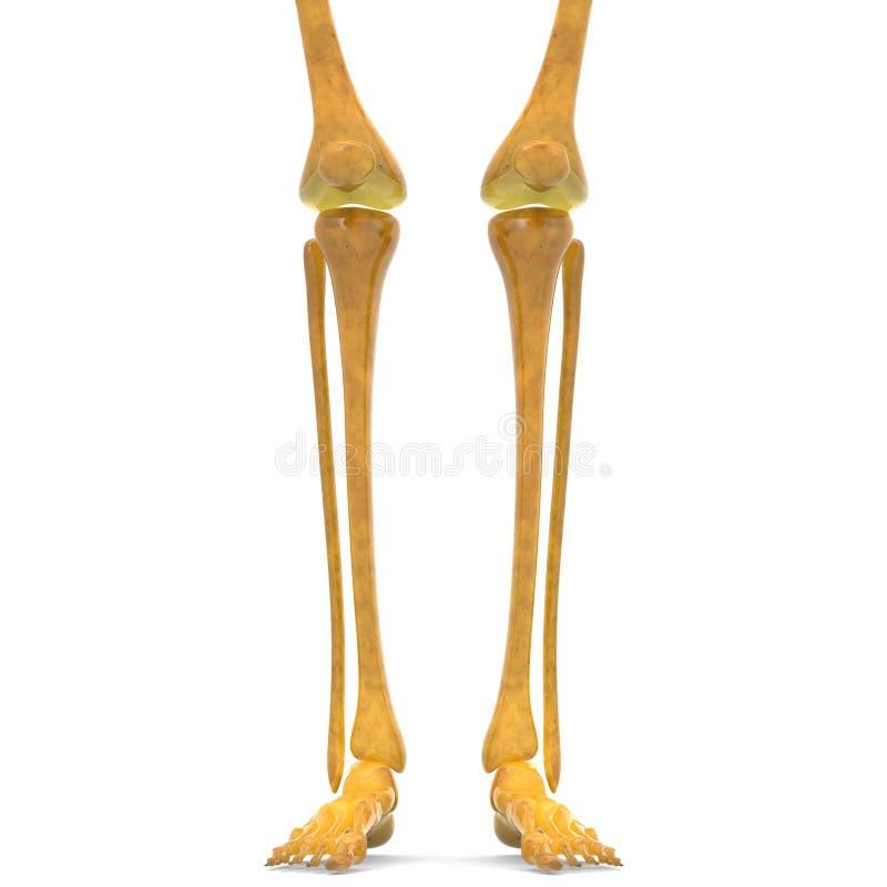 Menschliche Skeleton Bein Gelenke Stock Abbildung - Illustration von ...