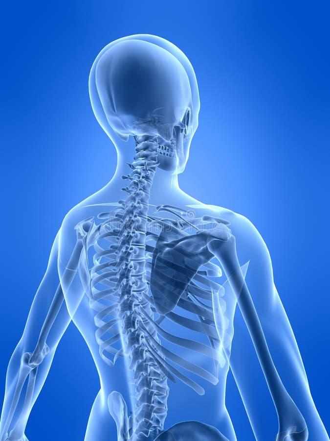 Menschliche skelettartige Rückseite lizenzfreie abbildung