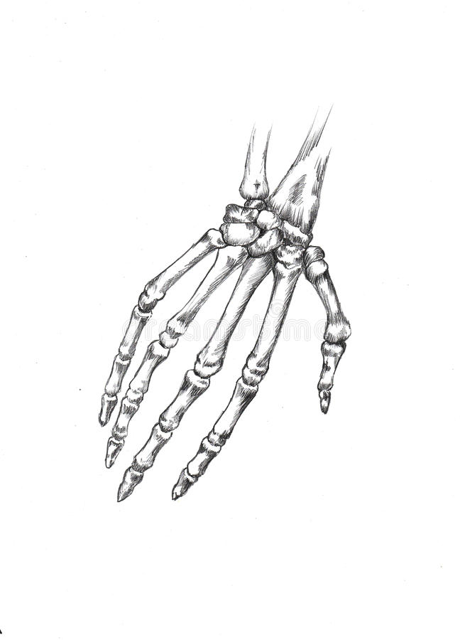 Groß Skelett Hand Diagramm Ideen - Anatomie und Physiologie des ...