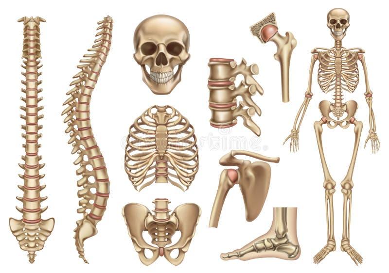 Menschliche Skelettkonstruktion Sch?del, Dorn, Brustkorb, Pelvis, Gelenke Anatomie und Medizin, Ikonensatz des Vektors 3d lizenzfreie abbildung