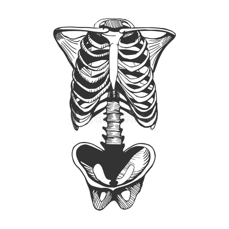 Menschliche Torsoknochen vektor abbildung