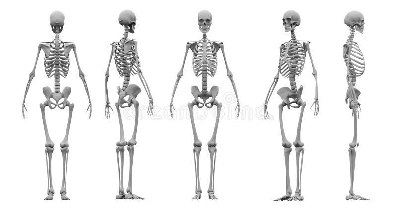 Menschliche Wiedergabe des Skelettsatzes 3d vektor abbildung