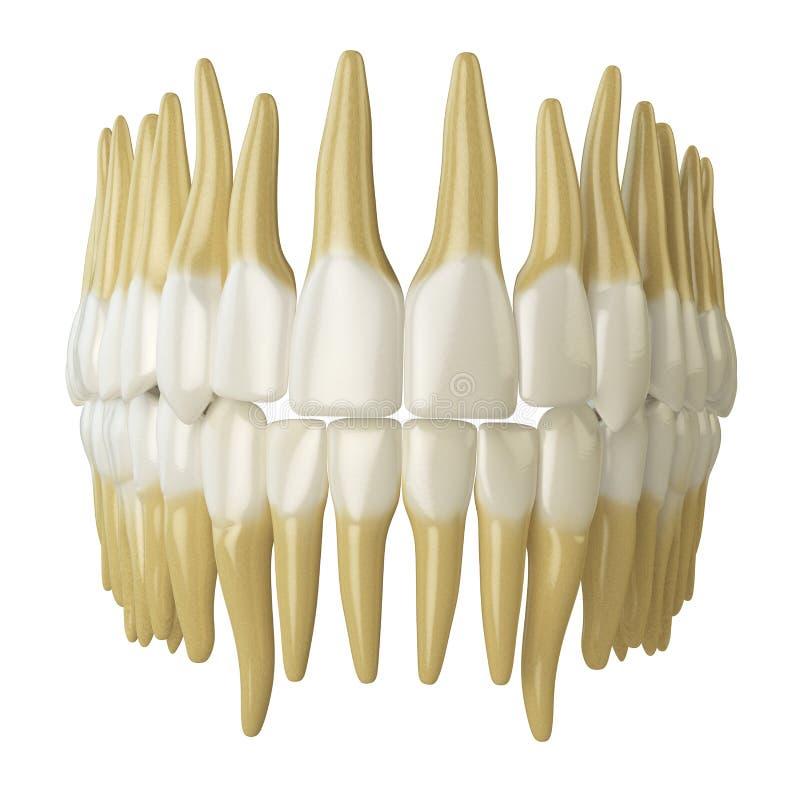Menschliche Zähne auf Weiß stock abbildung. Illustration von sauber ...