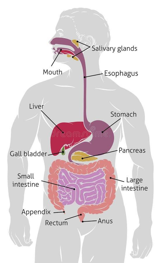 Menschlicher Darm-Verdauungssystem-Magen-Darm-Kanal Vektor Abbildung ...