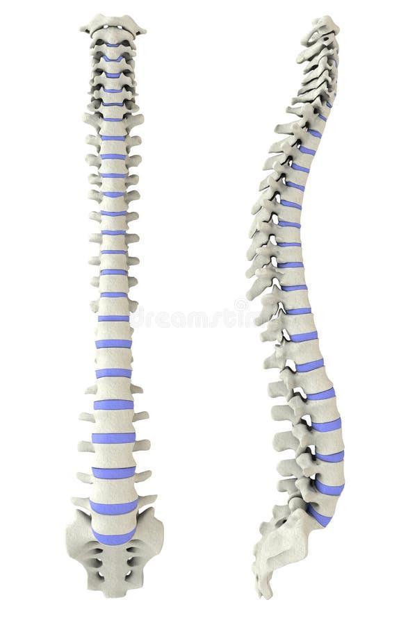 Menschlicher Dorn von der Seite und von der Rückseite vektor abbildung