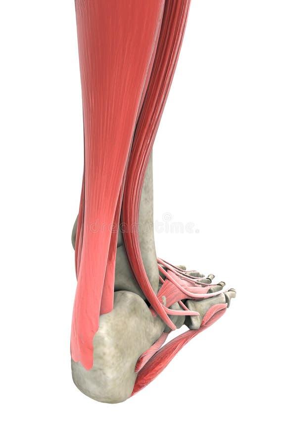 Menschlicher Fuß stock abbildung