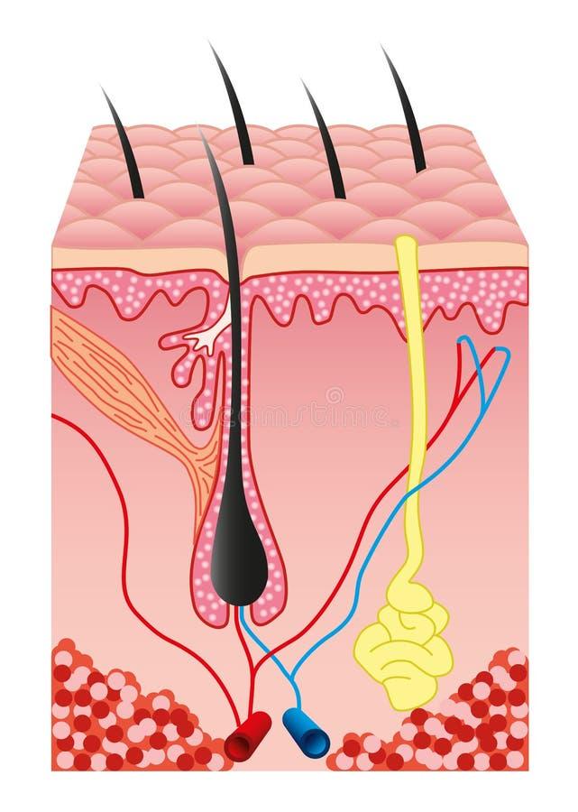 Menschlicher Haut und Haar folicle Vektor lizenzfreie abbildung