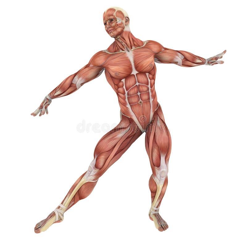 Menschlicher Körper stock abbildung. Illustration von anatomie ...
