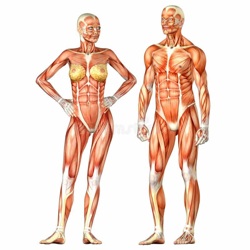 Nett Mann Körperanatomie Bilder - Menschliche Anatomie Bilder ...