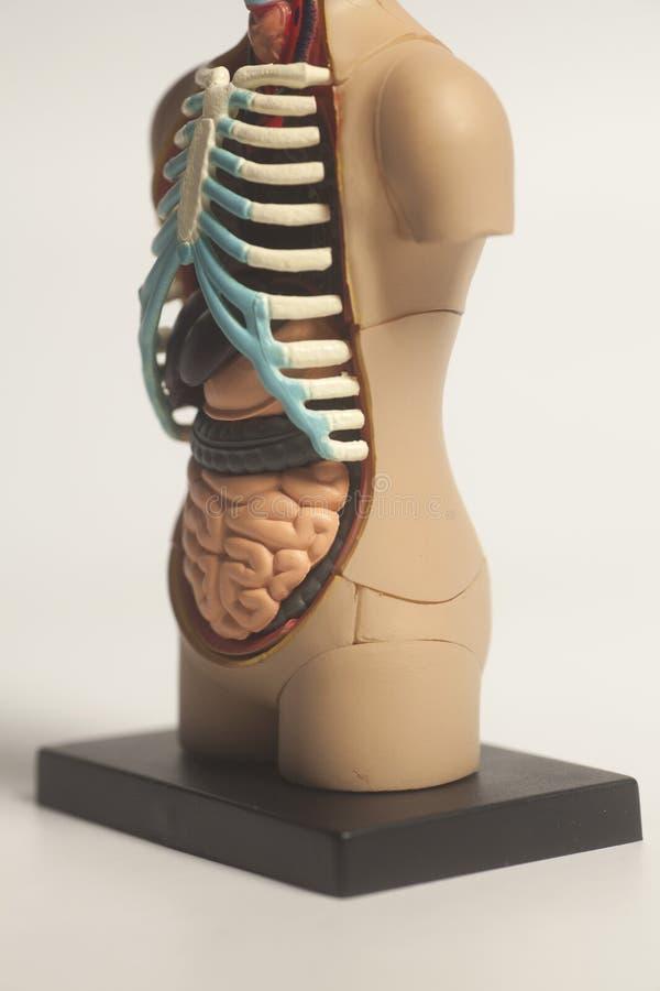 Wunderbar Menschliche Anatomische Modelle Ideen - Menschliche ...