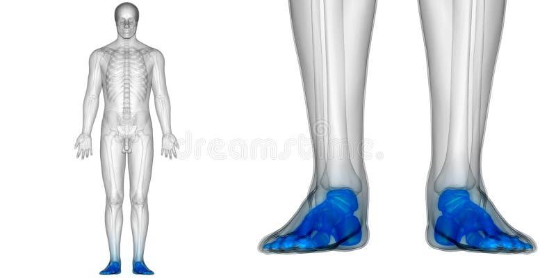 Menschlicher Körper-Knochen-Gelenkschmerzen-Anatomie-Fuß-Gelenke ...