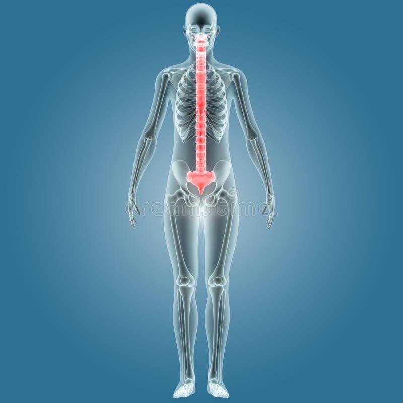 Menschlicher Körper-Knochenschmerzen (Rückenmark) Stock Abbildung ...