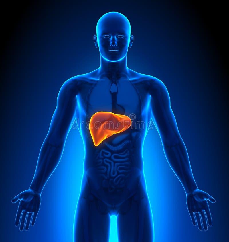 Medizinische Darstellung - männliche Organe - Leber stock abbildung