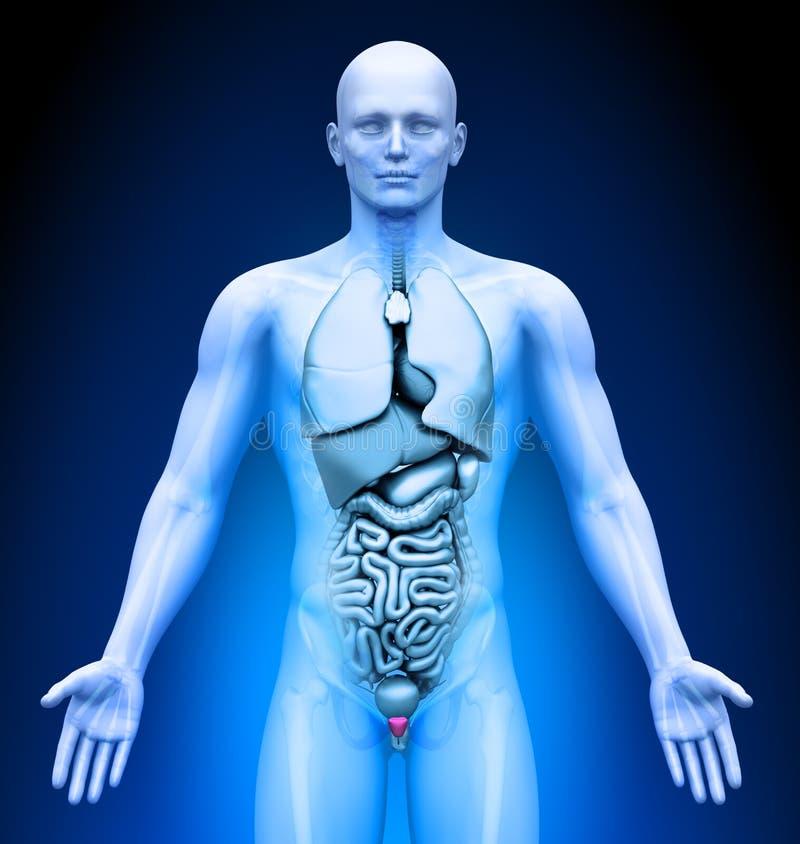 Medizinische Darstellung - männliche Organe - Prostata stock abbildung
