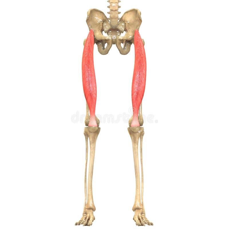 Menschlicher Körper Mischt Anatomie Mit (den Rectus Schenkel) Stock ...
