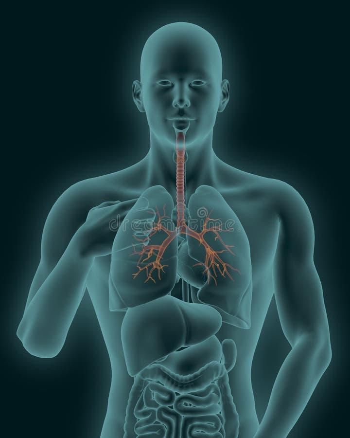 Menschlicher Körper Mit Der Sichtbaren Entflammten Trachea Und ...