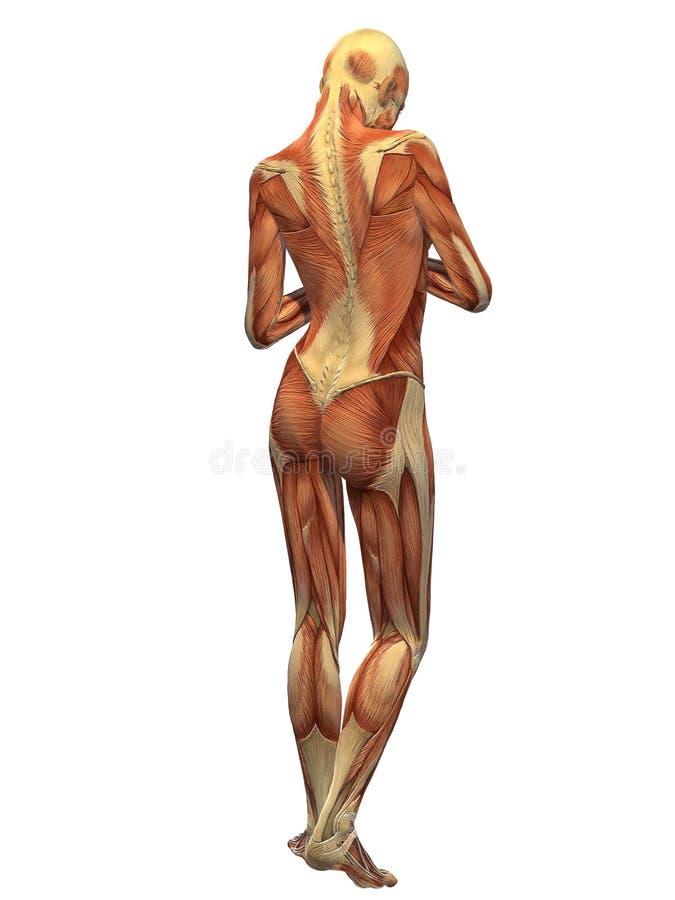 Menschlicher Körper-Muskel - Frau-Rückseite Stock Abbildung ...
