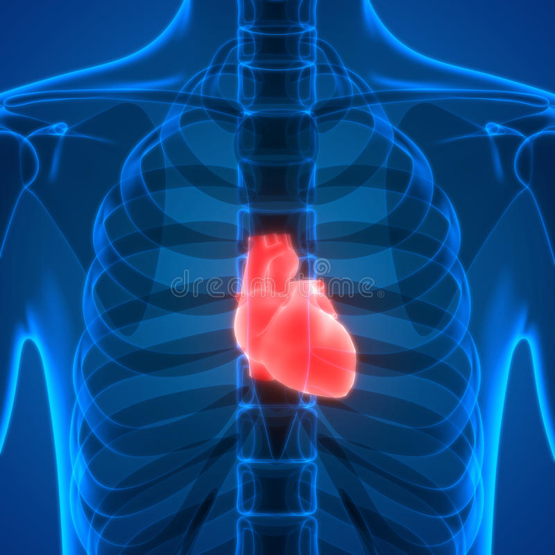 Menschlicher Körper-Organ-Anatomie (Herz) Stock Abbildung ...