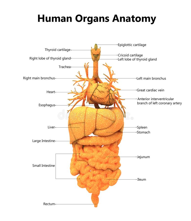 Erfreut Anatomie Körper Bilder - Menschliche Anatomie Bilder ...