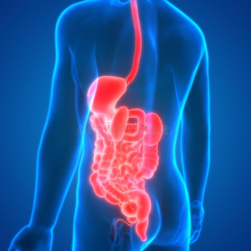 Groß Bilder Des Verdauungssystems Des Menschlichen Körpers Fotos ...