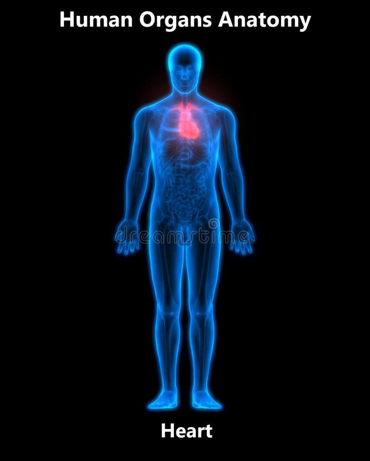 Menschlicher Körper-Organ-Herz-Anatomie Stock Abbildung ...