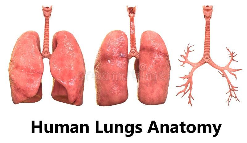 Menschlicher Körper-Organ-Lunge-Anatomie Stock Abbildung ...