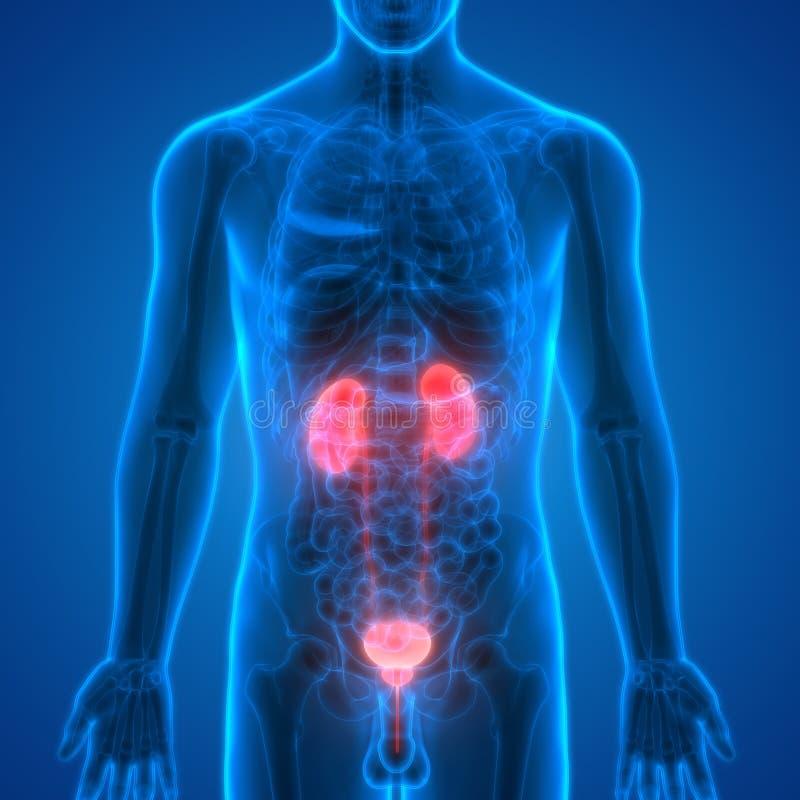 Menschlicher Körper-Organ-Nieren Mit Urinausscheidender Blase Stock ...