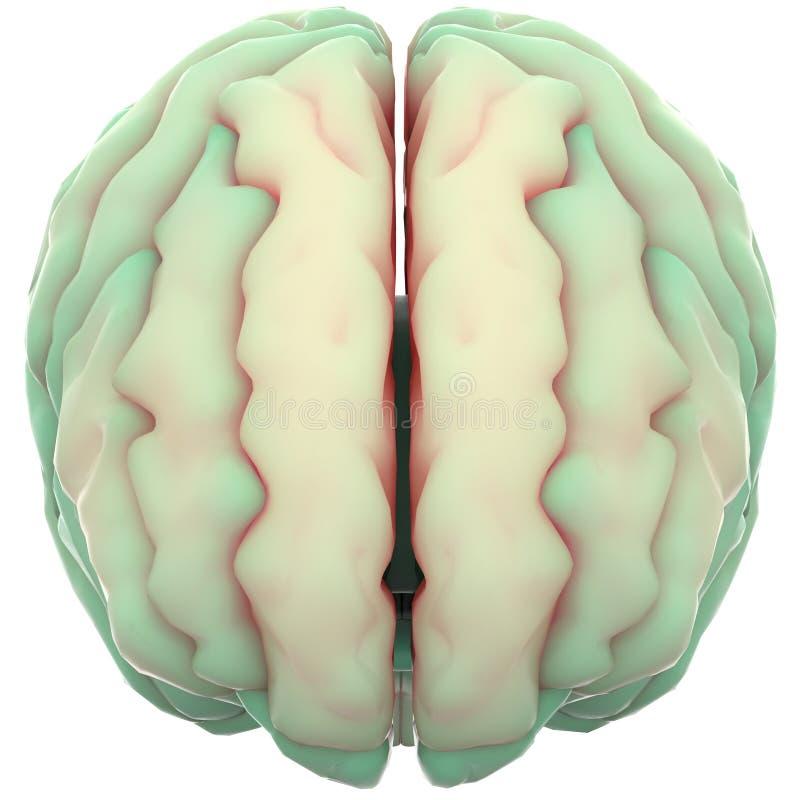 Menschlicher Körper-Organe (Gehirn) Stock Abbildung - Illustration ...