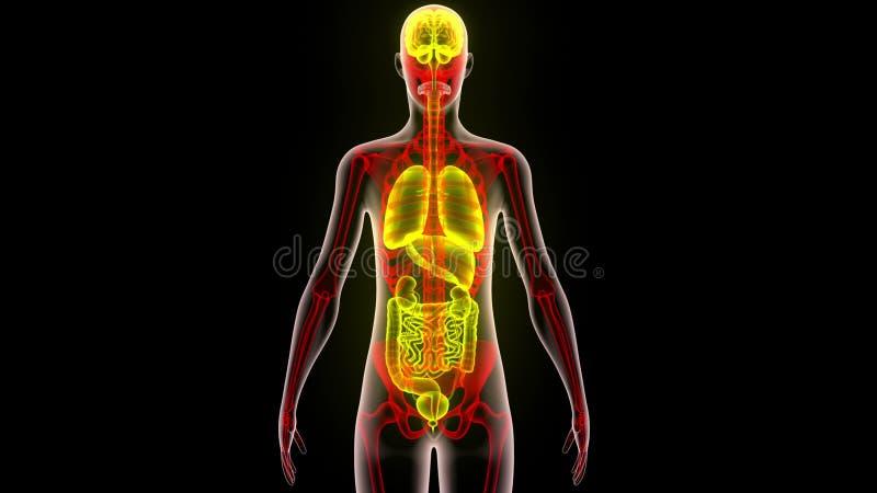 Menschlicher Körper-Organe (Gehirn, Lungen, Großes Und Dünndarm Mit ...
