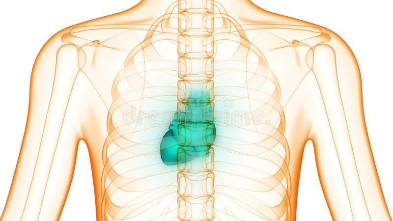 Menschlicher Körper-Organe (Herz) Stock Footage - Video von schlag ...