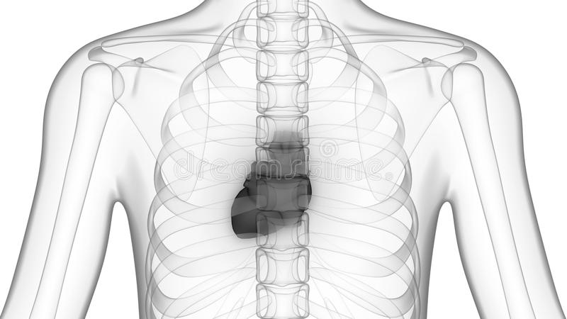 Menschlicher Körper-Organe (Herz) Stock Footage - Video von auszug ...