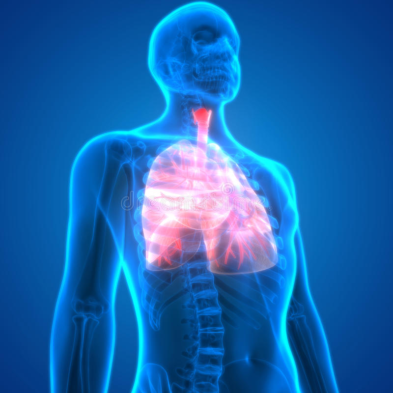 Menschlicher Körper-Organe (Lunge-Anatomie) Stock Abbildung ...