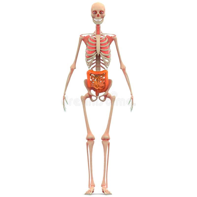 Menschlicher Körper-Organe (Lungen Mit Großem Und Dem Dünndarm ...